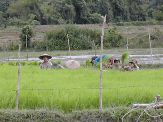 עבודה בשדות האורז, לאוס.