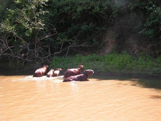 בברים, ג'ונגלים בוליביה.