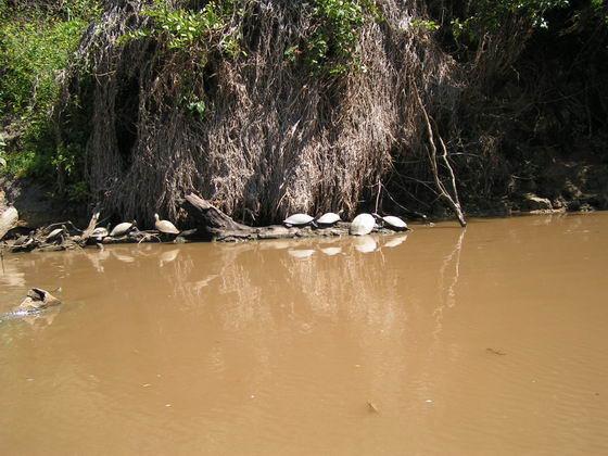 צבי ים, פמפס, בוליביה.