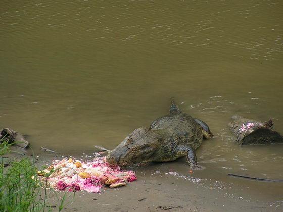 ארוחת צהריים תנינית, ג'ונגלים, בוליביה.