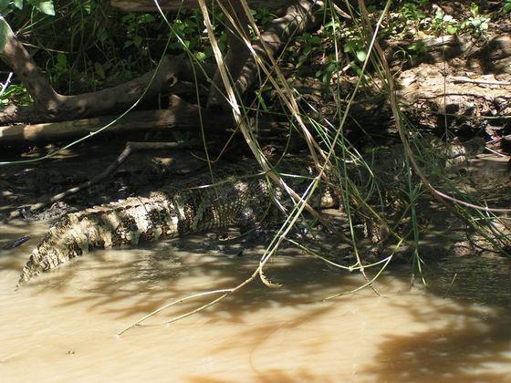נהר שורץ תנינים, ג'ונגלים, בוליביה.