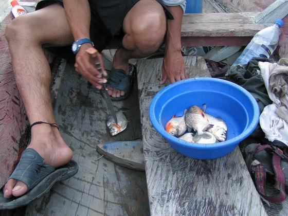 דייג של פירנאות בג'ונגלים, בוליביה