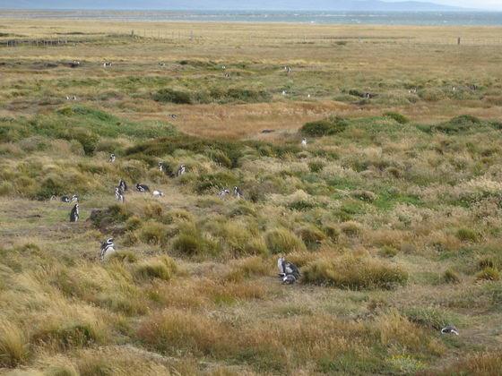 מושבת פינגוונים, פונטו ארנס, צ'ילה.