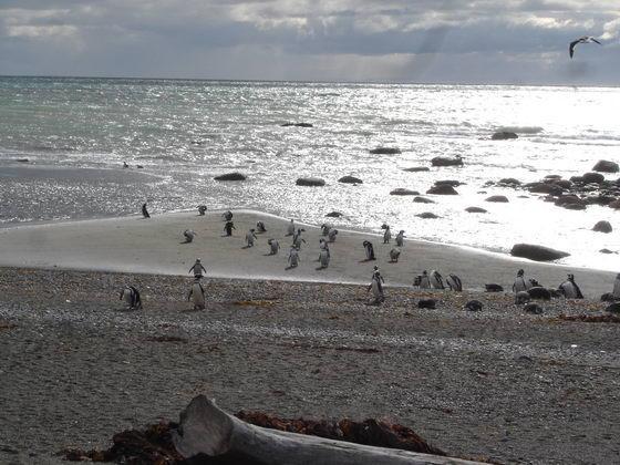 פינגוינים בדרום צ'ילה, פונטו ארנס