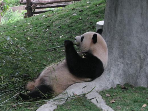 דוב פנדה