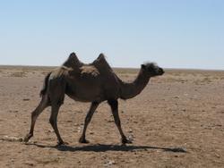 מונגוליה גמלים