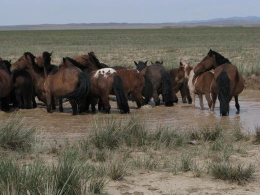 להקת סוסים מונגוליה